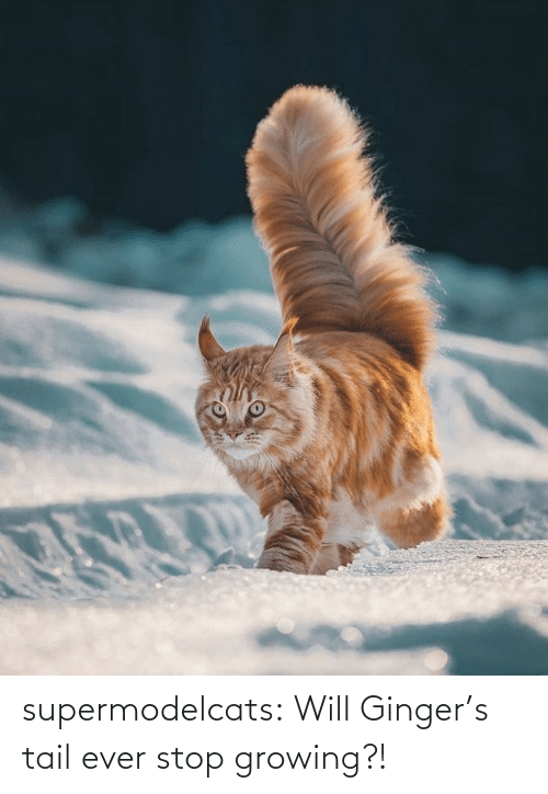 ever: supermodelcats:  Will Ginger's tail ever stop growing?!