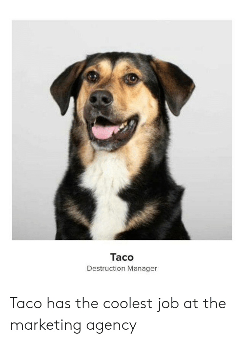 marketing: Taco  Destruction Manager Taco has the coolest job at the marketing agency