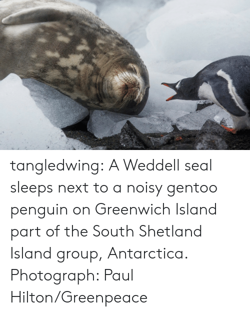 Hilton: tangledwing: A Weddell seal sleeps next to a noisy gentoo penguin on Greenwich Island part of the South Shetland Island group, Antarctica. Photograph: Paul Hilton/Greenpeace
