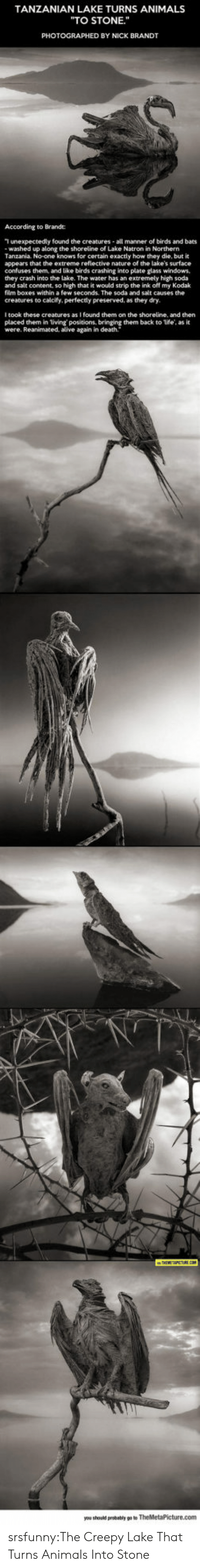 """tanzania: TANZANIAN LAKE TURNS ANIMALS  """"TO STONE.""""  PHOTOGRAPHED BY NICK BRANDT  According to Brande:  T unexpectedly found the creatures all manner of birds and bats  washed up along the shoreline of Lake Natron in Northern  Tanzania. No-one knows for certain exactly how they die, but it  appears that the extreme refiective nature of the lake's surface  confuses them, and like birds crashing into plate glass windows,  they crash into the lake. The water has an extremely high soda  and salt content, so high that it would strip the ink off my Kodak  film boxes within a few seconds. The soda and salt causes the  creatures to calcify, perfectly preserved, as they dry.  I took these creatures as I found them on the shoreline, and then  placed them in living positions, bringing them back to life, as it  were. Reanimated, alive again in death. srsfunny:The Creepy Lake That Turns Animals Into Stone"""