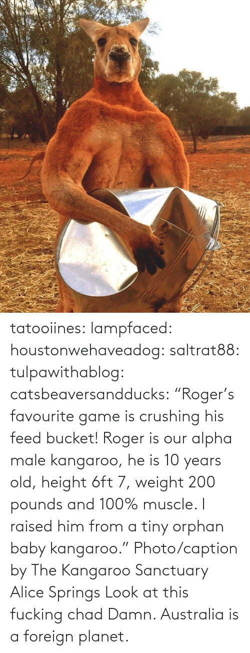 "Weight: tatooiines: lampfaced:  houstonwehaveadog:  saltrat88:  tulpawithablog:  catsbeaversandducks:  ""Roger's favourite game is crushing his feed bucket! Roger is our alpha male kangaroo, he is 10 years old, height 6ft 7, weight 200 pounds and 100% muscle. I raised him from a tiny orphan baby kangaroo."" Photo/caption by The Kangaroo Sanctuary Alice Springs   Look at this fucking chad    Damn.   Australia is a foreign planet."
