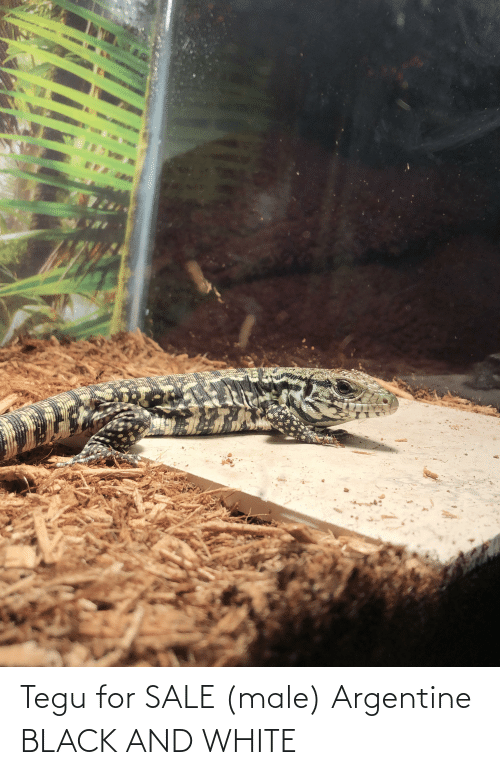 argentine: Tegu for SALE (male) Argentine BLACK AND WHITE