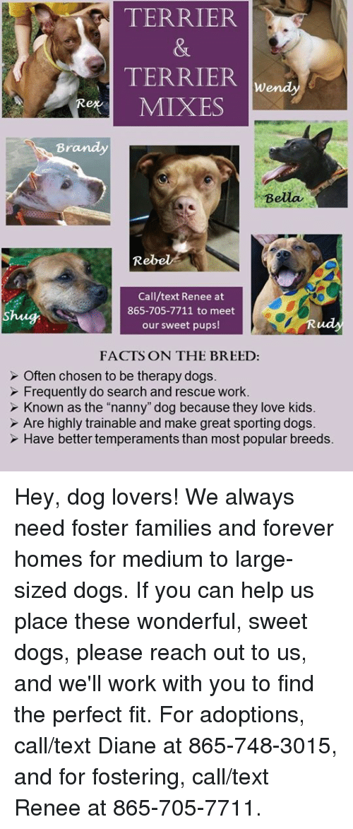 """Shug: TERRIER  TERRIER  MIXES  Br  Bella  Rebel*  Call/text Renee at  865-705-7711 to meet  our sweet pups!  Shug  ud  FACTS ON THE BREED:  Often chosen to be therapy dogs.  Frequently do search and rescue work.  Known as the """"nanny"""" dog because they love kids  Are highly trainable and make great sporting dogs.  Have better temperaments than most popular breeds. Hey, dog lovers!  We always need foster families and forever homes for medium to large-sized dogs.  If you can help us place these wonderful, sweet dogs, please reach out to us, and we'll work with you to find the perfect fit.  For adoptions, call/text Diane at 865-748-3015, and for fostering, call/text Renee at 865-705-7711."""