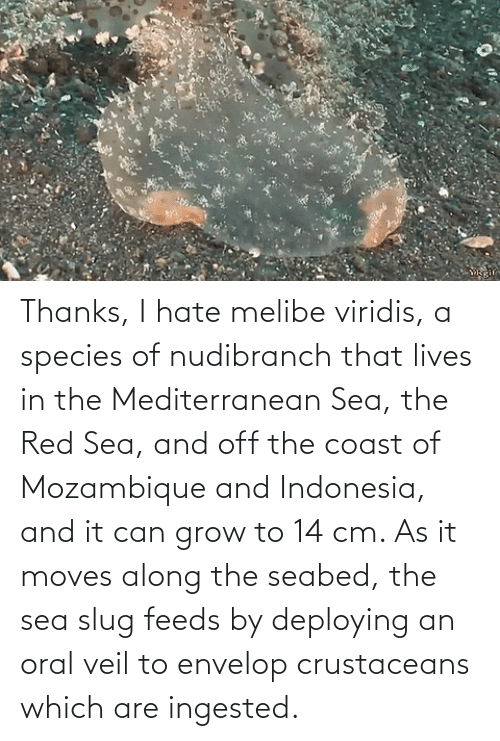 sea slug: Thanks, I hate melibe viridis, a species of nudibranch that lives in the Mediterranean Sea, the Red Sea, and off the coast of Mozambique and Indonesia, and it can grow to 14 cm. As it moves along the seabed, the sea slug feeds by deploying an oral veil to envelop crustaceans which are ingested.