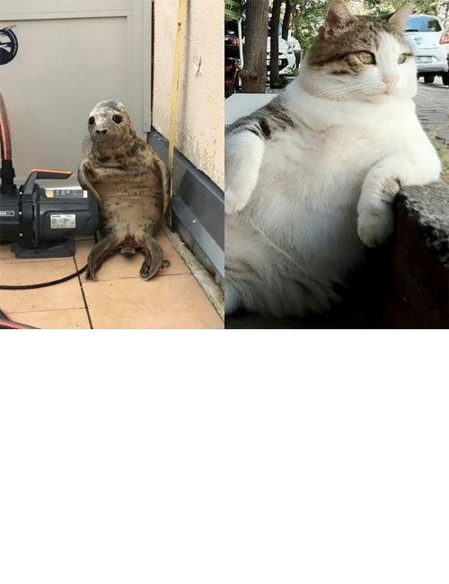 Been: The adorable seal has since been photoshopped into many popular memes.#cats 3catmemes #funnycats 3seal #funnyseal #animalmemes