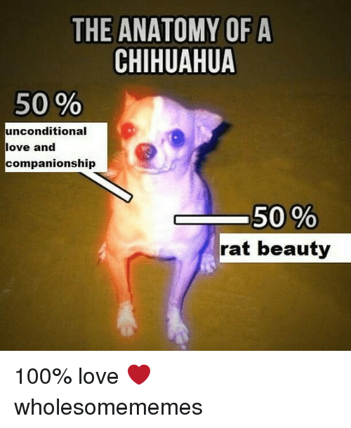 Companionship: THE ANATOMY OF A  CHIHUAHUA  50 %  unconditional  love and  companionship  , 50 %  rat beauty 100% love ❤ wholesomememes