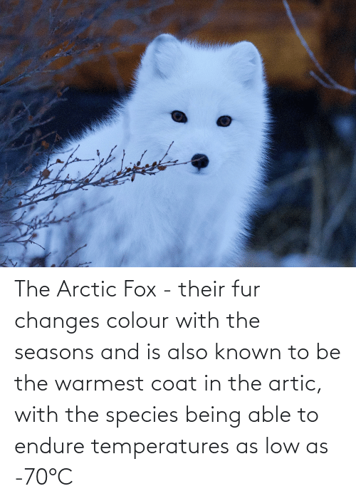 fox: The Arctic Fox - their fur changes colour with the seasons and is also known to be the warmest coat in the artic, with the species being able to endure temperatures as low as -70°C