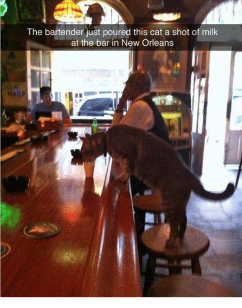 Memes, New Orleans, and 🤖: The bartender just poured this cat a shot of milk  at the bar in New Orleans