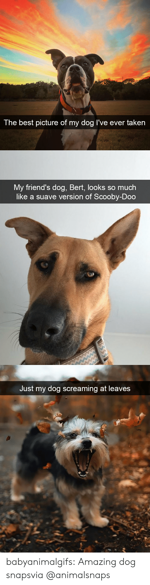 scooby: The best  picture of my dog I've ever taken   My friend's dog, Bert, looks so much  like a suave version of Scooby-Doo   Just my dog screaming at leaves babyanimalgifs:  Amazing dog snapsvia @animalsnaps​
