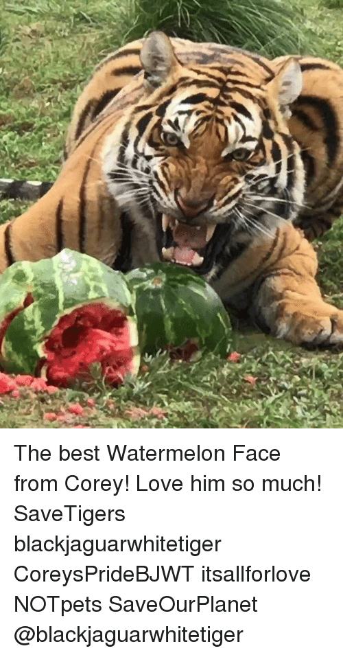 Watermelone: The best Watermelon Face from Corey! Love him so much! SaveTigers blackjaguarwhitetiger CoreysPrideBJWT itsallforlove NOTpets SaveOurPlanet @blackjaguarwhitetiger