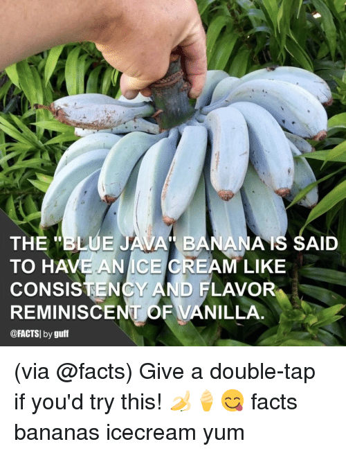 "Facts, Memes, and Blue: THE ""BLUE JAVA BANANAIS SAID  TO HAVE ANICE CREAM LIKE  CONSISTENCY AND FLAVOR  REMINISCENT OF VANILLA  @FACTSI by guff (via @facts) Give a double-tap if you'd try this! 🍌🍦😋 facts bananas icecream yum"