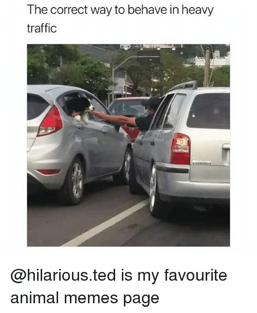 Memes Page: The correct way to behave in heavy  traffic @hilarious.ted is my favourite animal memes page