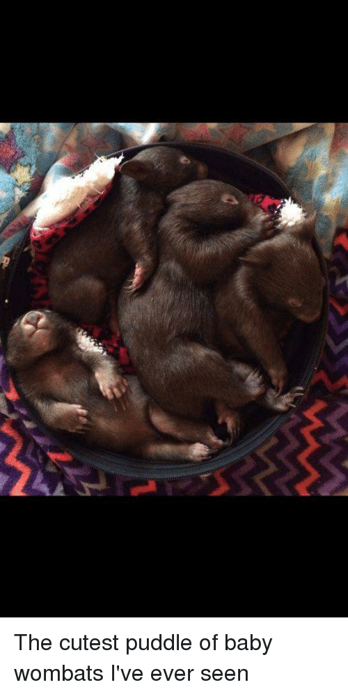 wombats: The cutest puddle of baby wombats I've ever seen