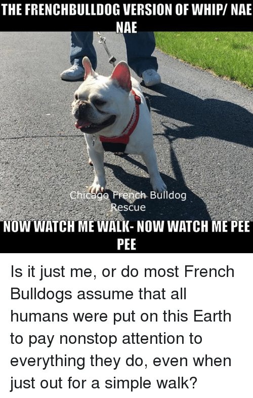 Chicago, Memes, and Nae Nae: THE FRENCHBULLDOG VERSION OFWHIPV NAE NAE  Chicago Prench