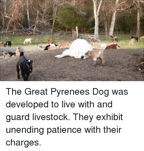 Live, Patience, and Dog: The Great Pyrenees Dog was developed to live with and guard livestock. They exhibit unending patience with their charges.