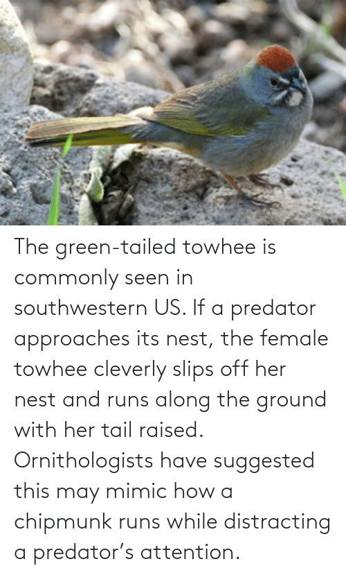 Distracting: The green-tailed towhee is commonly seen in southwestern US. If a predator approaches its nest, the female towhee cleverly slips off her nest and runs along the ground with her tail raised. Ornithologists have suggested this may mimic how a chipmunk runs while distracting a predator's attention.