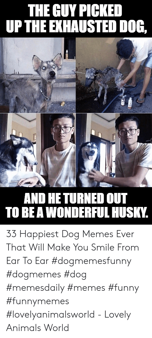 Animals, Funny, and Memes: THE GUY PICKED  UPTHE EXHAUSTED DOG,  AND HE TURNED OUT  TO BE A WONDERFUL HUSKY. 33 Happiest Dog Memes Ever That Will Make You Smile From Ear To Ear #dogmemesfunny #dogmemes #dog #memesdaily #memes #funny #funnymemes #lovelyanimalsworld - Lovely Animals World