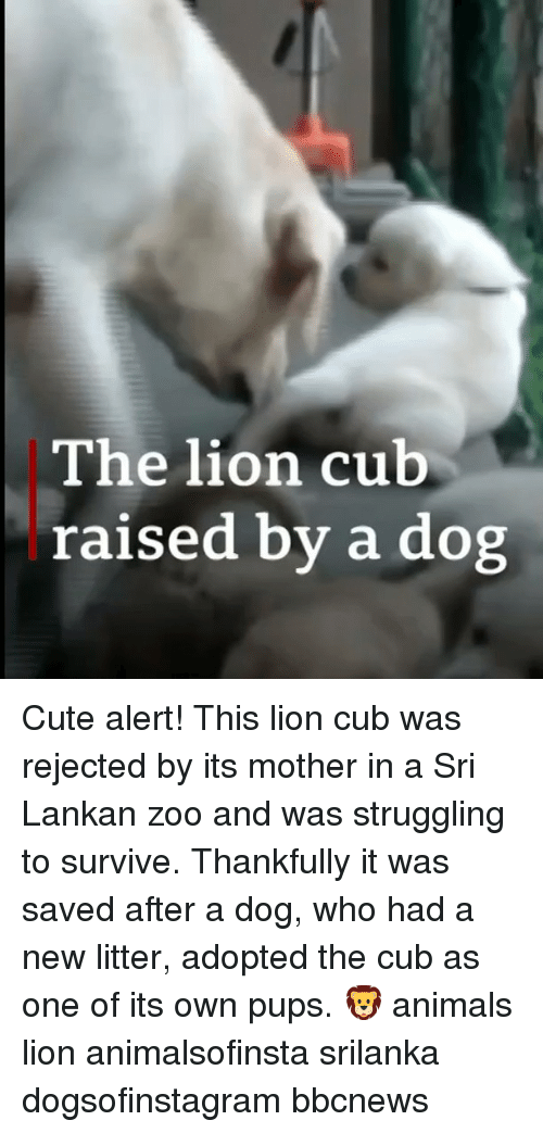 Animals, Cute, and Memes: The lion cub  raised by a dog Cute alert! This lion cub was rejected by its mother in a Sri Lankan zoo and was struggling to survive. Thankfully it was saved after a dog, who had a new litter, adopted the cub as one of its own pups. 🦁 animals lion animalsofinsta srilanka dogsofinstagram bbcnews