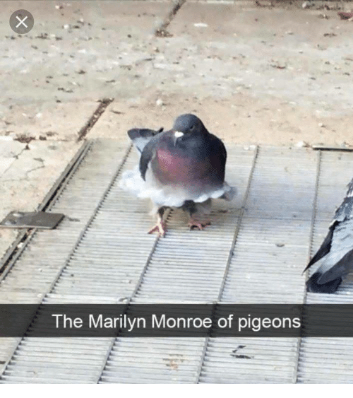 Marilyn Monroe: The Marilyn Monroe of pigeons