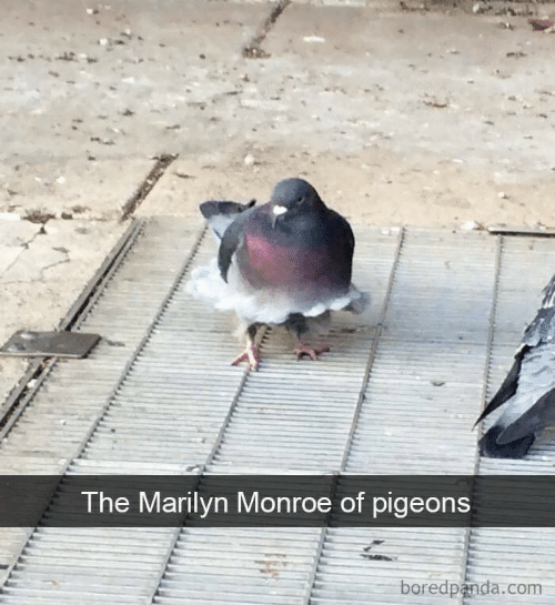 Marilyn Monroe: The Marilyn Monroe of pigeons  boredpanda.com
