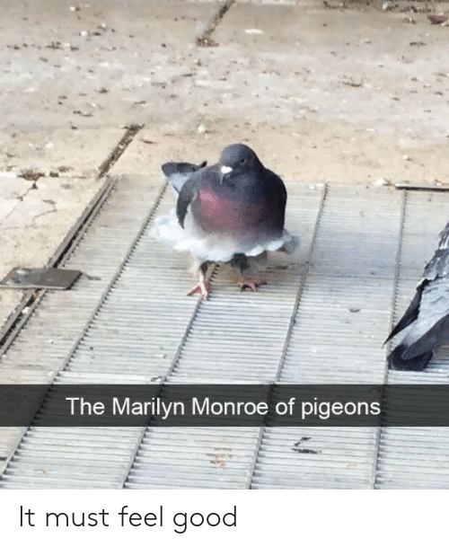 Marilyn Monroe: The Marilyn Monroe of pigeons It must feel good