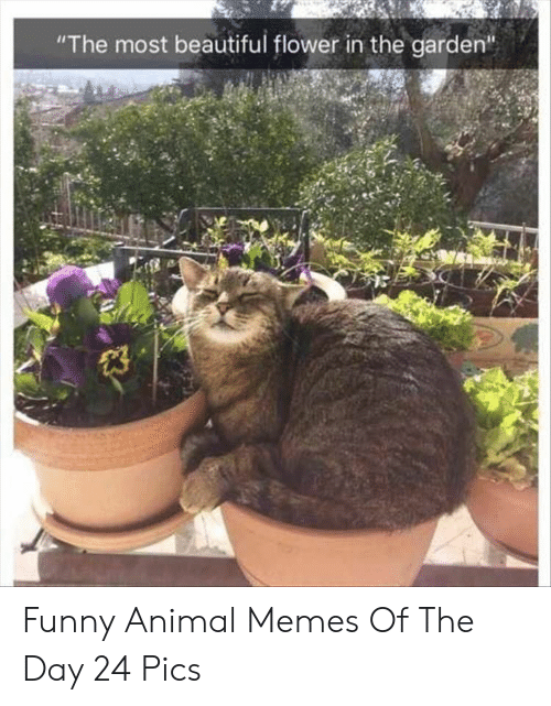"""funny animal memes: """"The most beautiful flower in the garden""""  23 Funny Animal Memes Of The Day 24 Pics"""