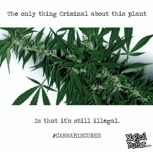 Criminations: The only thing Criminal about this plant  Is that it's still illegal.  #CANNABISCURES  COMi