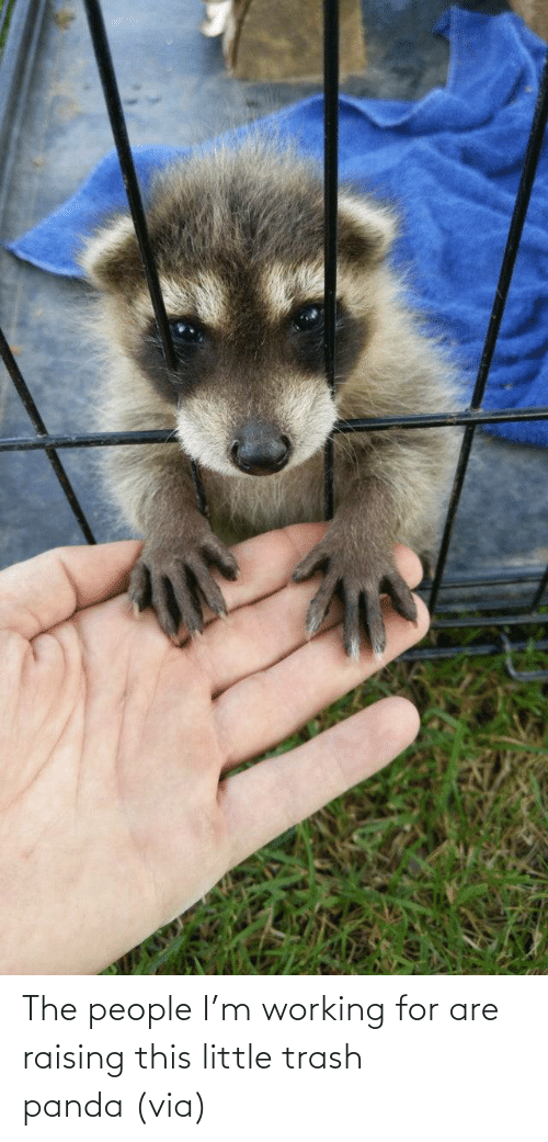 Im: The people I'm working for are raising this little trash panda (via)