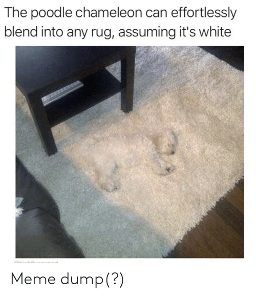 Blend: The poodle chameleon can effortlessly  blend into any rug, assuming it's white  Obighfi Meme dump(?)
