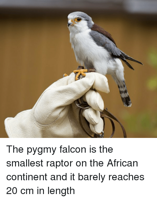raptor: The pygmy falcon is the smallest raptor on the African continent and it barely reaches 20 cm in length
