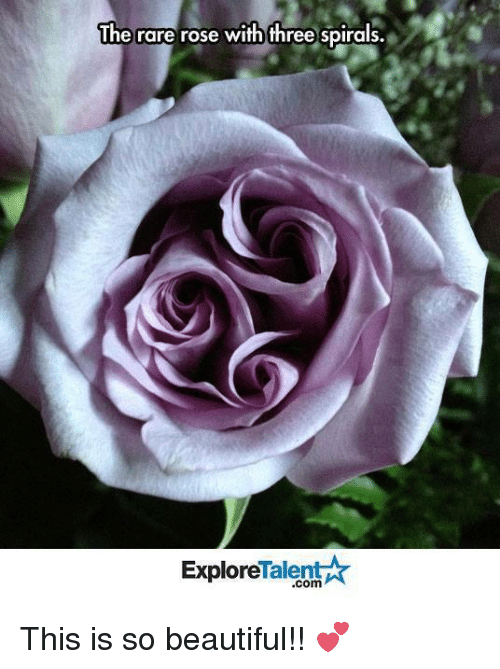 talent explore: The rare rose with three spirals.  Talent  Explore This is so beautiful!! 💕