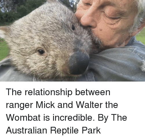wombats: The relationship between ranger Mick and Walter the Wombat is incredible.  By The Australian Reptile Park