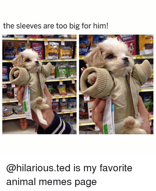 Memes Page: the sleeves are too big for him! @hilarious.ted is my favorite animal memes page
