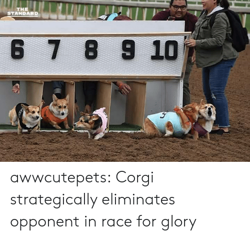 Corgi, Target, and Tumblr: THE  STANDARD  6 7 8 9 10 awwcutepets: Corgi strategically eliminates opponent in race for glory
