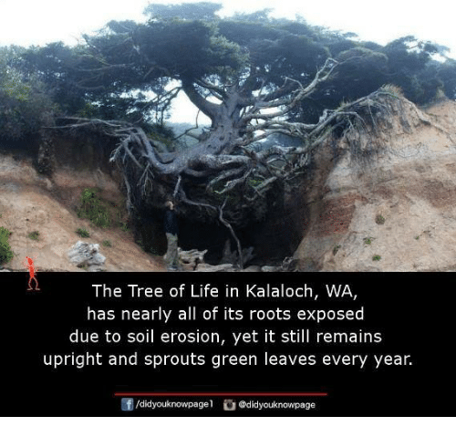 Life, Memes, and Sprouts: The Tree of Life in Kalaloch, WA  has nearly all of its roots exposed  due to soil erosion, yet it still remains  upright and sprouts green leaves every year.  /didyouknowpagel  @didyouknowpage