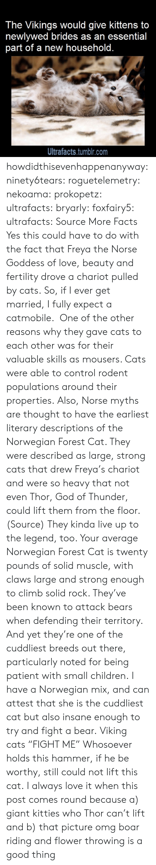 "Cats, Children, and Facts: The Vikings would give kittens to  newlywed brides as an essential  part of a new household.  Ultrafacts.tumblr.com howdidthisevenhappenanyway: ninety6tears:  roguetelemetry:   nekoama:   prokopetz:   ultrafacts:  bryarly:  foxfairy5:  ultrafacts:  Source More Facts  Yes this could have to do with the fact that Freya the Norse Goddess of love, beauty and fertility drove a chariot pulled by cats.  So, if I ever get married, I fully expect a catmobile.   One of the other reasons why they gave cats to each other was for their valuable skills as mousers. Cats were able to control rodent populations around their properties. Also, Norse myths are thought to have the earliest literary descriptions of the Norwegian Forest Cat. They were described as large, strong cats that drew Freya's chariot and were so heavy that not even Thor, God of Thunder, could lift them from the floor. (Source)  They kinda live up to the legend, too. Your average Norwegian Forest Cat is twenty pounds of solid muscle, with claws large and strong enough to climb solid rock. They've been known to attack bears when defending their territory. And yet they're one of the cuddliest breeds out there, particularly noted for being patient with small children.   I have a Norwegian mix, and can attest that she is the cuddliest cat but also insane enough to try and fight a bear.   Viking cats ""FIGHT ME""   Whosoever holds this hammer, if he be worthy, still could not lift this cat.   I always love it when this post comes round because a) giant kitties who Thor can't lift and b) that picture omg boar riding and flower throwing is a good thing"