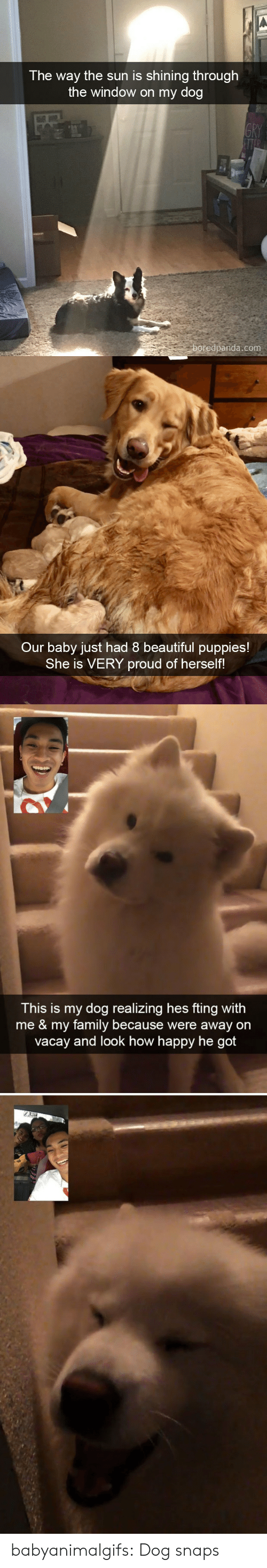 Beautiful, Family, and Puppies: The way the sun is shining thro  ugh  the window on my dog  oredpanda.com   Our baby just had 8 beautiful puppies!  She is VERY proud of herself!   This is my dog realizing hes fting with  me & my family because were away on  vacay and look how happy he got babyanimalgifs:  Dog snaps