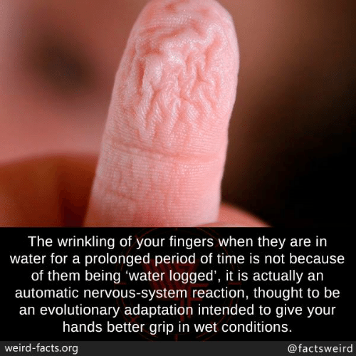 adaptation: The wrinkling of your fingers when they are in  water for a prolonged period of time is not because  of them being 'water logged', it is actually an  automatic nervous-system reaction, thought to be  an evolutionary adaptation intended to give your  hands better grip in wet conditions.  weird-facts.org  @factsweird