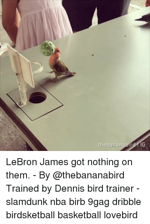 lovebird: thebananabird IG LeBron James got nothing on them. - By @thebananabird Trained by Dennis bird trainer - slamdunk nba birb 9gag dribble birdsketball basketball lovebird