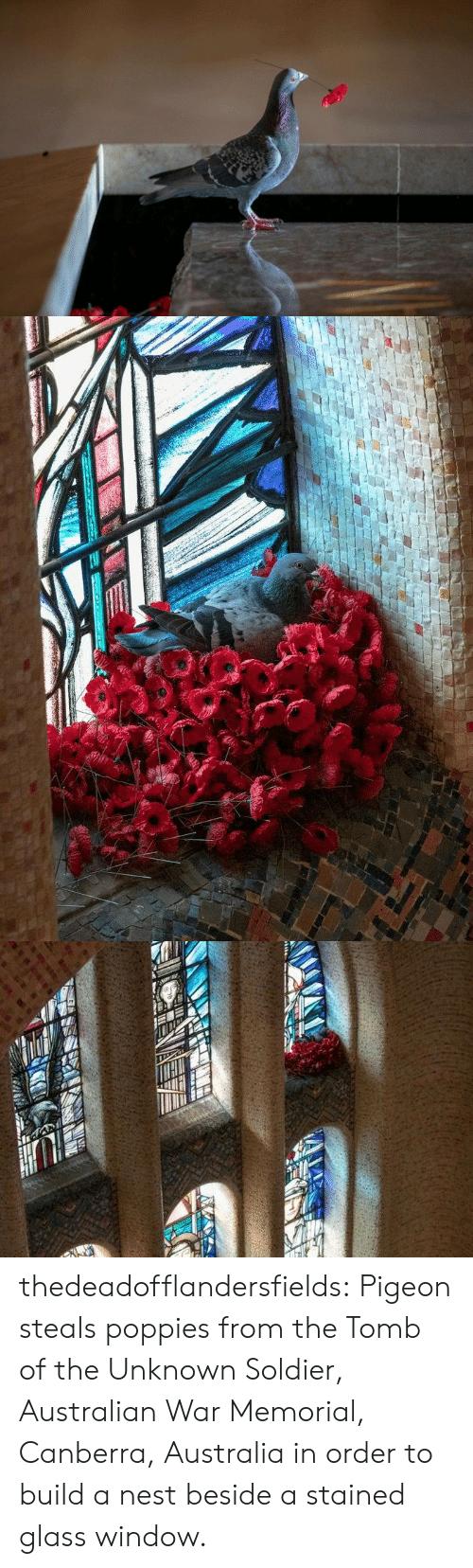 Tumblr, Australia, and Blog: thedeadofflandersfields:  Pigeon steals poppies from the Tomb of the Unknown Soldier, Australian War Memorial, Canberra, Australia in order to build a nest beside a stained glass window.