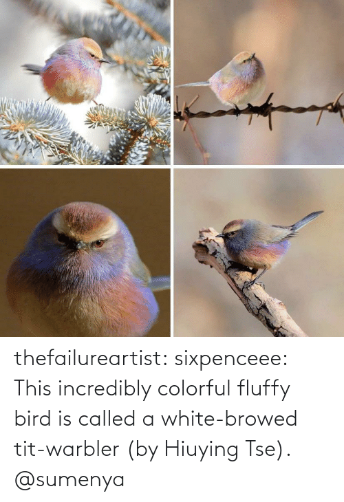 called: thefailureartist: sixpenceee: This incredibly colorful fluffy bird is called a white-browed tit-warbler (by Hiuying Tse). @sumenya