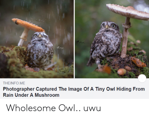 Image, Rain, and Wholesome: THEINFO ME  Photographer Captured The Image Of A Tiny Owl Hiding From  Rain Under A Mushroom Wholesome Owl.. uwu