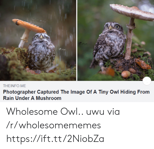 Image Of: THEINFO ME  Photographer Captured The Image Of A Tiny Owl Hiding From  Rain Under A Mushroom Wholesome Owl.. uwu via /r/wholesomememes https://ift.tt/2NiobZa