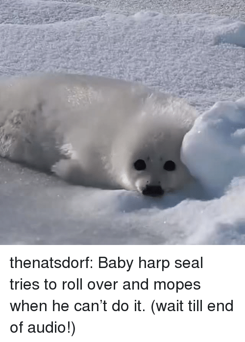Tumblr, Blog, and Seal: thenatsdorf:  Baby harp seal tries to roll over and mopes when he can't do it. (wait till end of audio!)