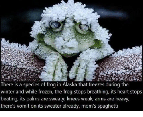 Spaghetties: There is a species of frog in Alaska that freezes during the  winter and while frozen, the frog stops breathing, its heart stops  beating, its palms are sweaty, knees weak, arms are heavy,  there's vomit on its sweater already, mom's spaghetti