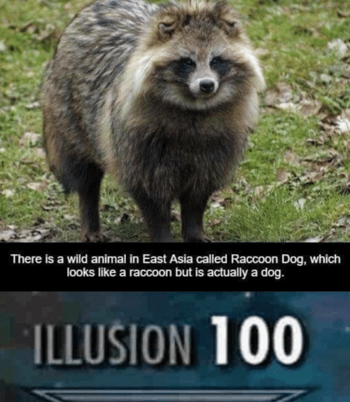 Illusion 100: There is a wild animal in East Asia called Raccoon Dog, which  looks like a raccoon but is actually a dog.  ILLUSION 100