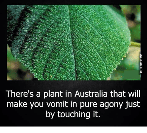 Agony Touch It And Vomit There S A Plant In Australia That Will Make You Pure Just By Touching