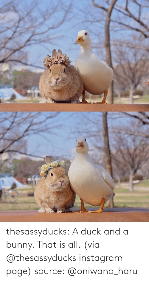 page: thesassyducks: A duck and a bunny. That is all. (via @thesassyducks instagram page) source:@oniwano_haru