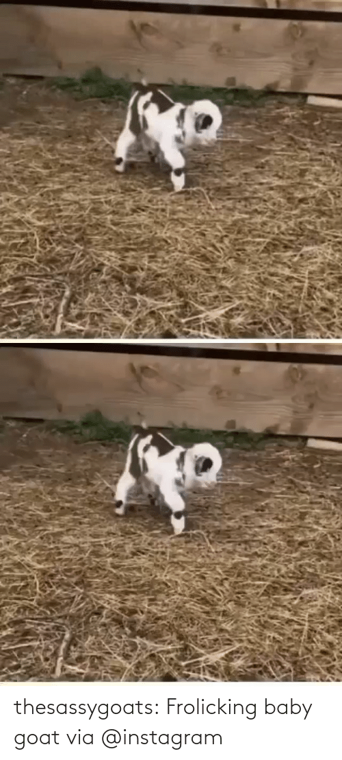 Baby: thesassygoats: Frolicking baby goat via @instagram