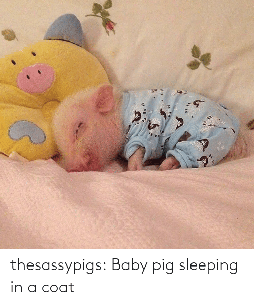 Sleeping: thesassypigs:  Baby pig sleeping in a coat